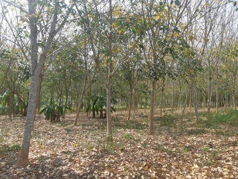 ขายสวนยางพารา 7 ปี มีบ้านพัก โรงทำน้ำยาง บ้านพักคนงาน 1 หลัง ทั้งหมด 29 ไร่ อ.ท่าฉาง จ.สุราษฎร์ธานี