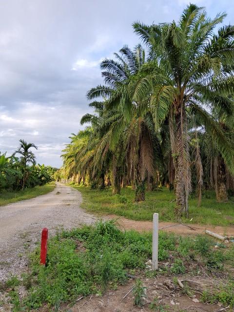 สวนปาล์ม 23-1-46 ไร่ ขายด่วน ถูกที่สุดในบริเวณนี้