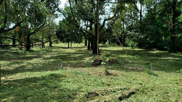ภาพขายที่ดินสวนผลไม้ผสม มีผลสามารถทำต่อได้ 4-2-58 ไร่