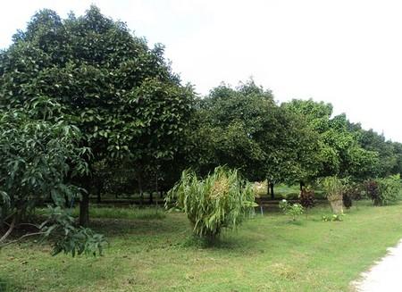 ขายสวนมังคุดสวย บ้านบางแก้ว พรุตาโรย ละอุ่น จังหวัดระนอง