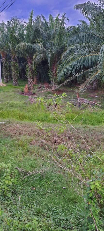 ขายที่ดินพร้อมสวนปาล์ม เนื้อที่ 4 ไร่ 3 งาน 81 ตาราวา ราคาไร่ล ะ1.8 ล้าน ติดถนนเอเซีย ใกล้แยกป่าเว อ