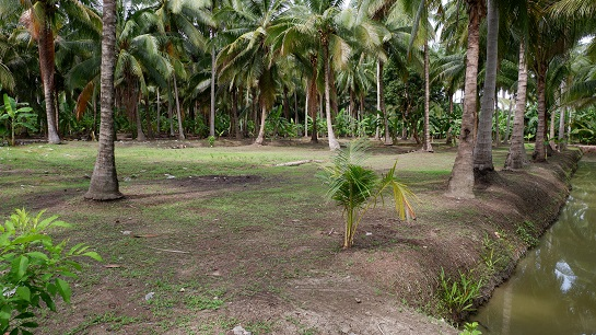 ภาพที่ดินสวนมะพร้าว แบ่งขาย ทำเลสวย  อำเภอบางคนที ติดคลองบางคนที